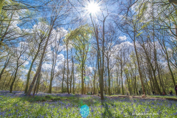 Tall young trees, some of which have spring leaves but some of which have only leaf buds or no leaves at all reach towards a blue sky with fluffy white clouds. The sun, very slightly to the right of centre at the top of the image is in sunburst form with rays extending to left and right edges of the image. On the floor are swathes of violet bluebells and fresh almost luminous green grass. The overall impression is of peace and growing things. As your eyes adjust to the scale you realise there are 8 or 10 people and a dog in the near distance, and this gives scale to the forest, the huge swathes of bluebells and the trees